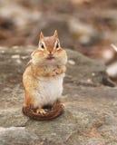 Aardeekhoorn royalty-vrije stock fotografie