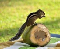 Aardeekhoorn Royalty-vrije Stock Foto
