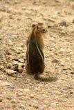 Aardeekhoorn royalty-vrije stock afbeelding