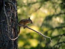 Aardeekhoorn in Bryce Canyon Utah stock foto
