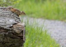 Aardeekhoorn die op een Stomp wordt neergestreken royalty-vrije stock afbeeldingen