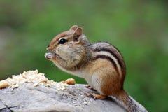 Aardeekhoorn eten pinda's Royalty-vrije Stock Afbeeldingen