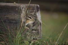 Aardeekhoorn in hol logboek Royalty-vrije Stock Afbeeldingen