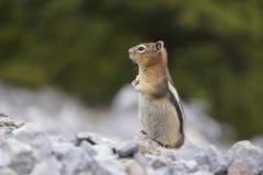 Aardeekhoorn in Noord-Amerika stock afbeeldingen