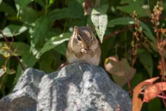 Aardeekhoorn op een rots Royalty-vrije Stock Afbeelding