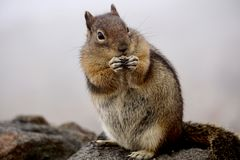 Aardeekhoorn in Regenachtiger Onderstel royalty-vrije stock fotografie