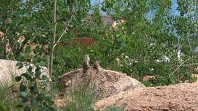 Aardeekhoorns op Crystal Creek Reservoir in Colorado 4K stock videobeelden