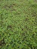 Aardgras stock afbeelding