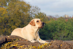 Aardig geel Labrador in het park in de herfst Royalty-vrije Stock Foto's