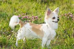 aardige chihuahua onder groene gras en bloemen Stock Afbeelding