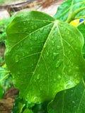 Aardlelie na regenseizoen die Thailand verbazen Royalty-vrije Stock Fotografie
