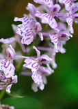 Aardse orchidee Royalty-vrije Stock Afbeeldingen