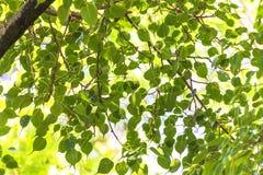 Aardtextuur, Peepal-Boombladeren, groene bladerenachtergrond royalty-vrije stock afbeelding
