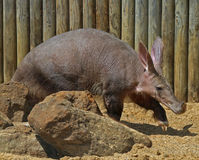 Aardvark Royalty Free Stock Photos