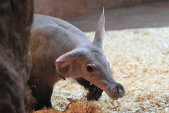 Aardvark Royalty Free Stock Photo