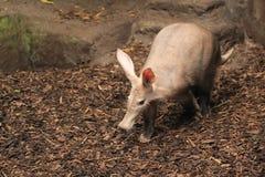 aardvark Obrazy Stock