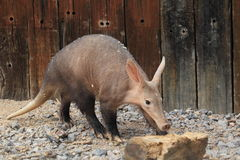 Aardvark Royalty Free Stock Image