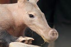 Aardvark detail. The detail of upper body of aardvark stock image