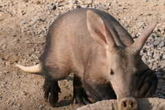 Aardvark. An aardvark eating his food Stock Photos