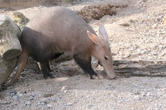 Aardvark. An aardvark eating his food Royalty Free Stock Photos
