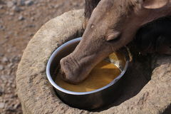 Aardvark. An aardvark eating his food Stock Images