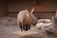Aardvark. An aardvark in his habitat Royalty Free Stock Photos