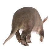 Aardvark, Orycteropus, 16 años, recorriendo Imágenes de archivo libres de regalías