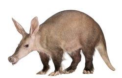 Aardvark, Orycteropus, 16 années Image libre de droits
