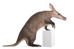 Aardvark, Orycteropus, 16 années Photo libre de droits