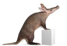 Aardvark, Orycteropus, 16 années Photographie stock libre de droits