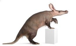 Aardvark, Orycteropus, 16 années Images libres de droits