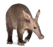Aardvark, Orycteropus, 16 anos velho Fotos de Stock