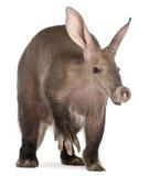 Aardvark, Orycteropus, 16 anos velho Foto de Stock Royalty Free