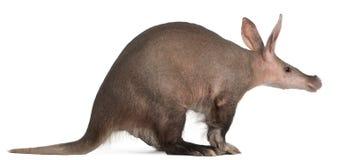 Aardvark, Orycteropus, 16 Jahre alt Lizenzfreie Stockbilder