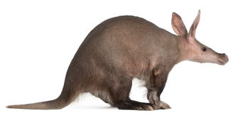 Aardvark, Orycteropus, 16 years old Royalty Free Stock Images