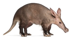 Aardvark, Orycteropus, 16 years old Stock Photo
