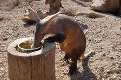 Aardvark (Orycteropus afer) at the zoo. Royalty Free Stock Photography