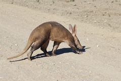 Aardvark - Rare African Wildlife - Crossing trails and tails Royalty Free Stock Photo