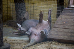 The aardvark resting lying on your back with raised legs up. Funny animal i Stock Image