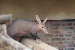 Aardvark Stock Image