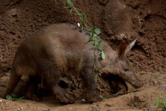 Aardvark Walking Stock Photography