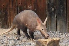 Aardvarken royalty-vrije stock afbeelding