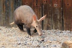 Aardvarken stock foto's