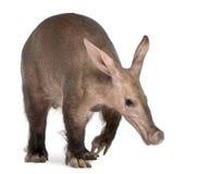 Aardvarken, Orycteropus, 16 jaar oud Stock Foto's