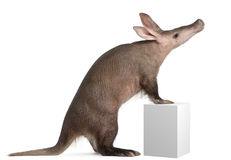 Aardvarken, Orycteropus, 16 jaar oud royalty-vrije stock fotografie