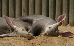 Aardvarks Stock Photo