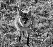 Aardwolf Fotografia de Stock
