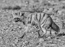 Aardwolf Fotos de Stock