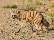 Aardwolf Foto de Stock Royalty Free