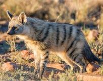 Aardwolf Fotografia de Stock Royalty Free